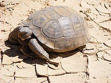 Caution Tortoise Xing; Mojave Desert Tortoise